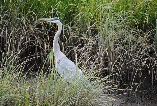 heron - siletz bay oregon - 2015