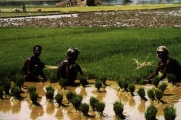 India - rice farmers 1997