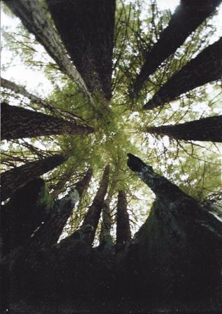 redwood family