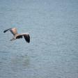 Heron - siletz 2016