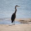 heron - siletz bay 2016