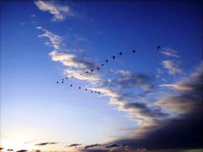 Geese in formation
